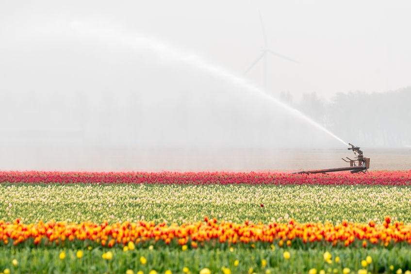 Drinkwater besproeit tulpenvelden